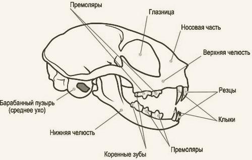 Система черепа кошек