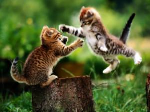 Мышечная система кошки