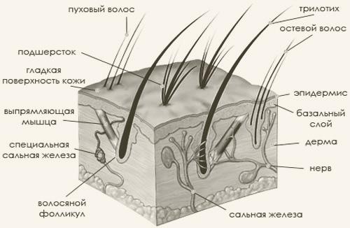Анатомия и физиология кошки. Кожа, шерсть, секреторные железы.