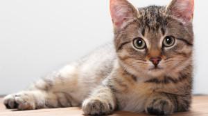 Анатомия и физиология кошки. Кожа