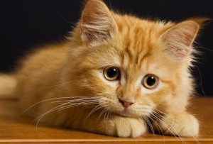 Анатомия и физиология кошки. Шерсть
