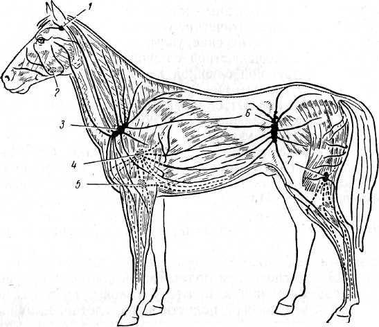 Расположение поверхностных лимфатических узлов лошади