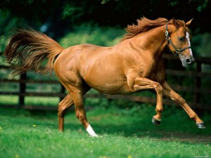 Система лимфатических узлов лошади