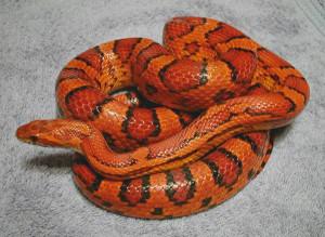 Решили завести змею в доме
