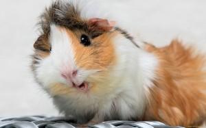 Болезни мочевых и половых органов у морских свинок