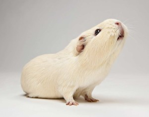 Как лечить свинку в домашних условиях