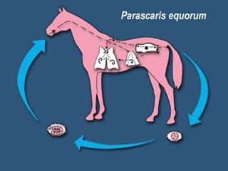 Жизненный цикл Parascaris equorum