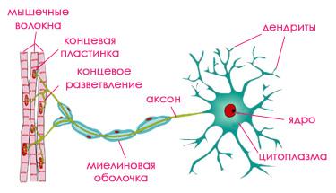 Нервные клеткикошки