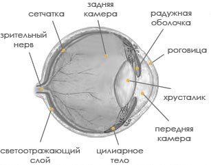 Глаза кошки: зрение