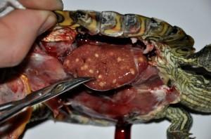 Множественные абсцессы печени красноухой черепахи