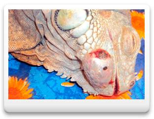 Этапы удаления абсцесса нижней челюсти у зеленой игуаны