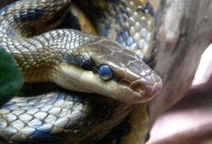 Стадии нормальной линьки змей