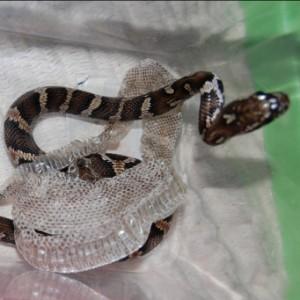 Линька у змей
