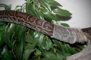 Причины нарушений и профилактика линьки у змей
