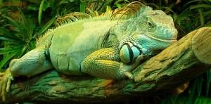 Копрофагия у зеленых игуан