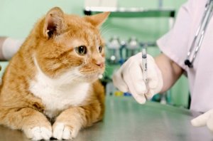 Вакцинация кошек, котов, котят