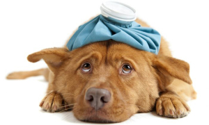 Гематомы у собак и как их лечить