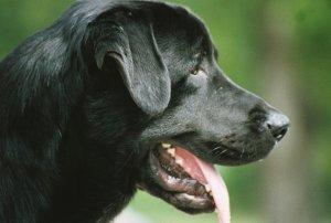 Почему собака тяжело дышит?