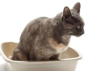 Запор у кошки, кота или котенка