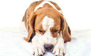 Рвота, понос, температура у собаки