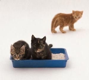 Как собрать мочукота / кошки / котенкадля анализа?