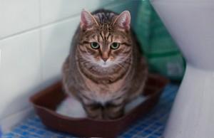 Кровь в моче у кота, кошки или котенка