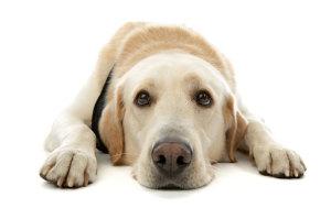 У собаки отказали задние лапы