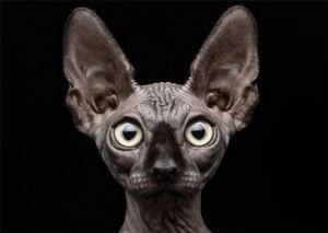 Уши кошек и котов - анатомия, уход, заболевания
