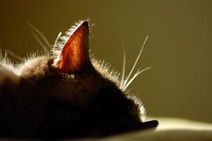 У кошки прыщ на ухе - что делать?