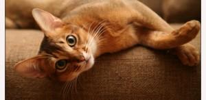 У кошки, кота или котенка отказывают лапы - причины и лечение