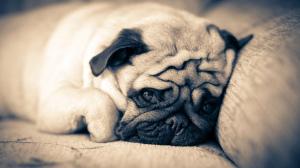 Что делать если у собаки отказали задние лапы?