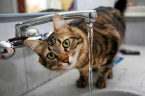 Сколько воды должна пить кошка?