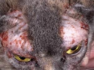 Аллергены в пище, какпричина дерматита у кошек
