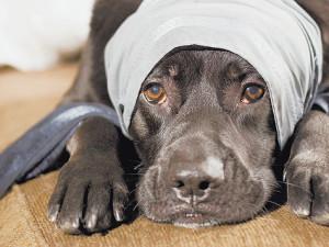 черепно-мозговые травмы у собак