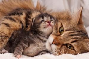 Проблемы после родов у кошек