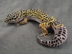 Как по внешнему виду определить, что геккон голодает?
