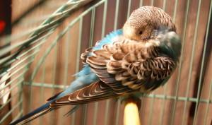 Энцефалит или лихорадка Западного Нилау попугаев