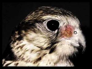 Оспау попугаев