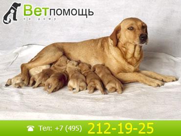 Роды собак на дому (родовспоможение)