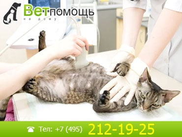 УЗИ кошек и котов на дому
