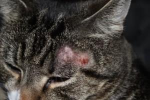 Как лечить дерматофитию у кошек и котов