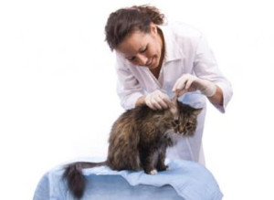 Правила осмотраушейкошек и котов