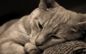 Рак у кошек и котов