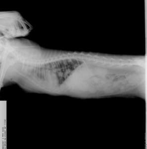 Рентгенологическая диагностика рака у кошек и котов