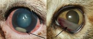 Какие кошки могут заразиться кошачьей хламидофилой?