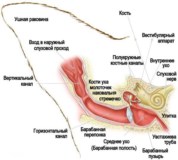 Анатомияушей кошек и котов