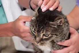 Как лечить ушную чесотку у кошек и котов