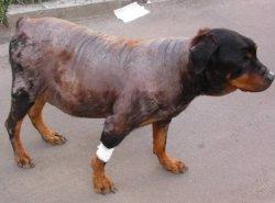 Лечениеболезни Кушинга у собак