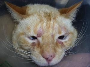 В чём разница между аллергическим и ирритантным (раздражающим) контактными дерматитами у кошки?