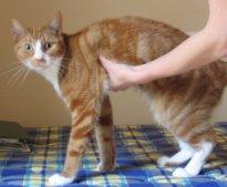 Первая помощь при анафилактическом шоке у кошек и котов